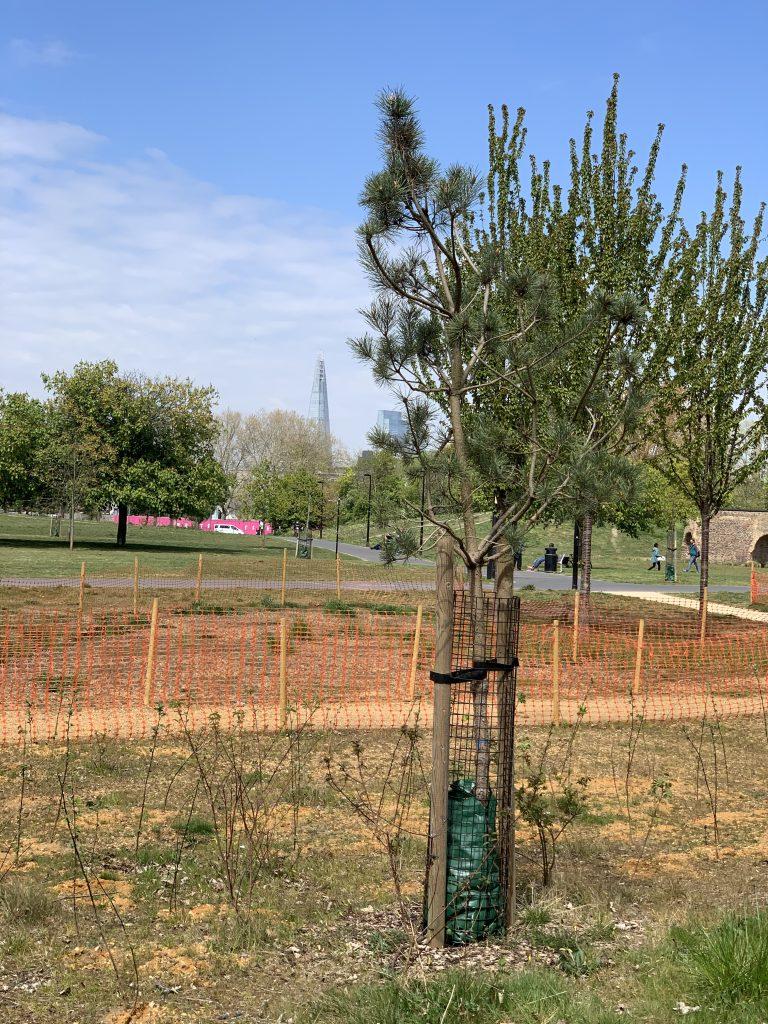 Cherry tree in Burgess Park