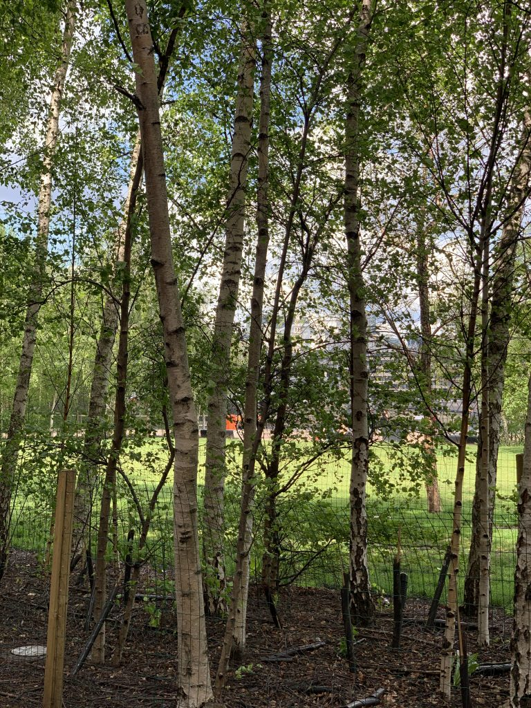 Birch trees behind the Tate Modern museum